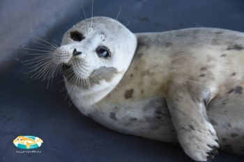 Erfan is the newest guest of the Caspian Seal Conservation Center